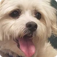 Adopt A Pet :: ANGEL - Gustine, CA
