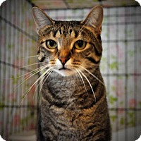 American Shorthair Cat for adoption in Alamogordo, New Mexico - Suzie