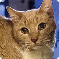 Domestic Mediumhair Cat for adoption in Sedona, Arizona - Fritz