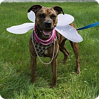 Pit Bull Terrier/Boxer Mix Dog for adoption in Glocester, Rhode Island - Sasha