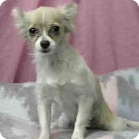 Chihuahua Dog for adoption in Seattle, Washington - Elise Rio