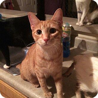 American Shorthair Cat for adoption in Newnan, Georgia - Weasly