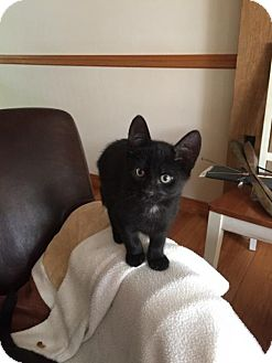 Domestic Shorthair Kitten for adoption in Naugatuck, Connecticut - Jack