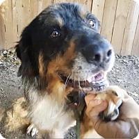 Adopt A Pet :: Bruin - Enfield, CT