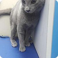 Adopt A Pet :: Apollo - Sherman Oaks, CA