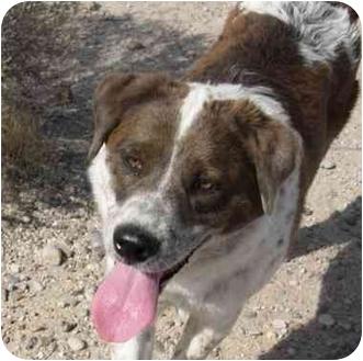 Australian Shepherd/Labrador Retriever Mix Dog for adoption in Thatcher, Arizona - Gigi