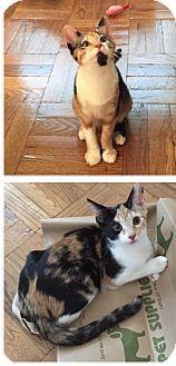 Domestic Shorthair Cat for adoption in Bryn Mawr, Pennsylvania - Tortellini/ loves cats