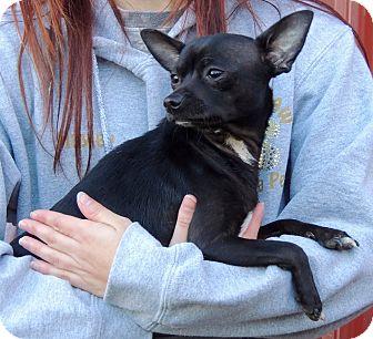 Chihuahua Mix Dog for adoption in Joplin, Missouri - Jack