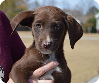 Labrador Retriever Mix Puppy for adoption in Seabrook, New Hampshire - Molly-ADOPTED