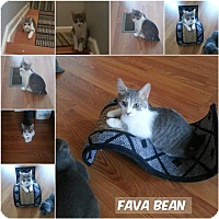 Adopt A Pet :: FavaBean - Middletown, OH