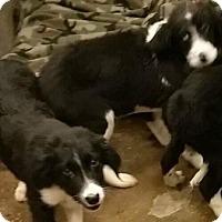 Adopt A Pet :: Breeze and Blaze - Oswego, IL