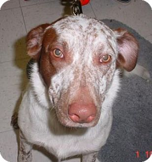 Spaniel (Unknown Type) Mix Dog for adoption in Lockhart, Texas - Hank