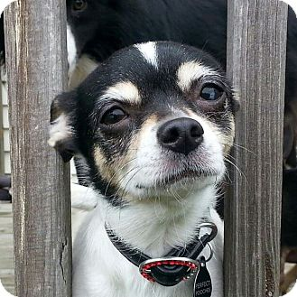 Chihuahua Dog for adoption in Romeoville, Illinois - *ADOPTED* Pebbles