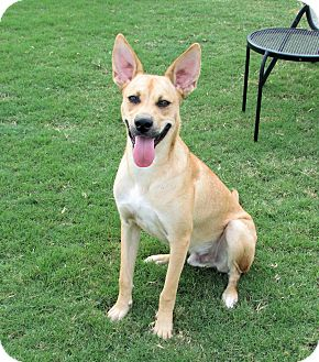 Carolina Dog Mix Dog for adoption in Cranston, Rhode Island - Charlie Dingo (located in GA)