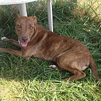 Adopt A Pet :: Ginger - Bristol, TN
