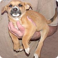 Adopt A Pet :: HOLIDAY PUPS G - Corona, CA