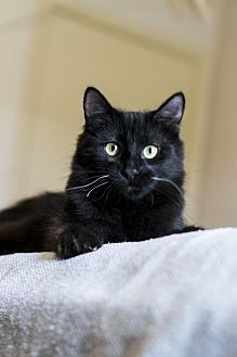 Domestic Shorthair Kitten for adoption in Baton Rouge, Louisiana - Farley