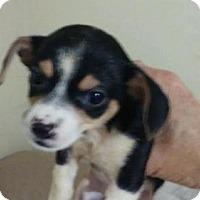 Adopt A Pet :: Chiwienie Puppies - Surprise, AZ