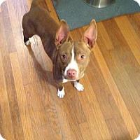 Adopt A Pet :: Nandi - West Orange, NJ