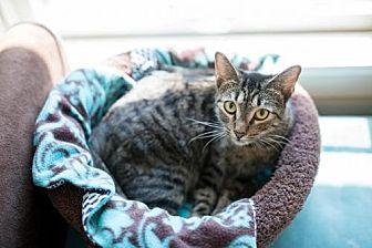 Domestic Shorthair Cat for adoption in Houston, Texas - Ginger