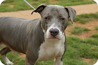 Great Dane Mix Dog for adoption in Newnan, Georgia - Chance