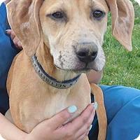 Adopt A Pet :: Pup Kangaroo - Rockville, MD