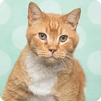 Adopt A Pet :: Socks - Chippewa Falls, WI