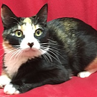 Domestic Shorthair Cat for adoption in Scottsdale, Arizona - Angie