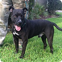 American Pit Bull Terrier Mix Dog for adoption in Slidell, Louisiana - Quinn