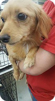 Spaniel (Unknown Type)/Dachshund Mix Dog for adoption in Fresno, California - Butterscotch