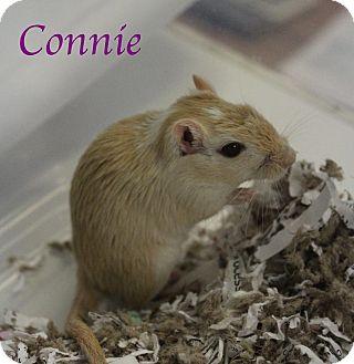 Gerbil for adoption in Bradenton, Florida - Connie