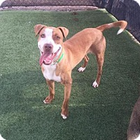 Labrador Retriever Mix Dog for adoption in Phoenix, Arizona - Dennis