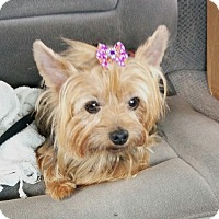 Adopt A Pet :: Bella/Yorkie - Jacksonville, FL