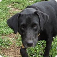 Adopt A Pet :: SHEBA - Jackson, MO