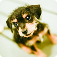 Adopt A Pet :: Ren - Muldrow, OK