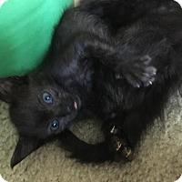 Domestic Shorthair Kitten for adoption in Austin, Texas - Atticus