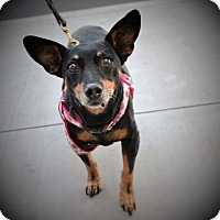 Miniature Pinscher Dog for adoption in Chandler, Arizona - Mochi