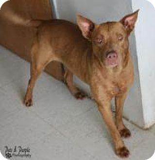 Retriever (Unknown Type) Mix Dog for adoption in Yukon, Oklahoma - Kaya