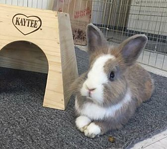 Lionhead Mix for adoption in Los Angeles, California - Dorella