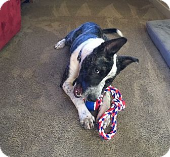 Terrier (Unknown Type, Medium)/Italian Greyhound Mix Dog for adoption in Bristol, Connecticut - Tillman