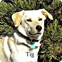 Adopt A Pet :: Tig - Yreka, CA