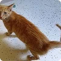 Domestic Longhair Cat for adoption in Kalamazoo, Michigan - Pumpkin
