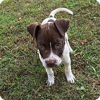 Adopt A Pet :: Lacey - Wenonah, NJ