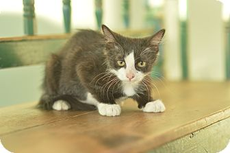 Domestic Mediumhair Kitten for adoption in San Antonio, Texas - Curly