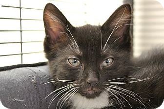 Domestic Shorthair Cat for adoption in Sarasota, Florida - Cuckoo