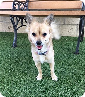Chihuahua Mix Dog for adoption in Corona, California - Kennel 15