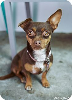 Chihuahua Mix Dog for adoption in Canyon Country, California - Chocolate