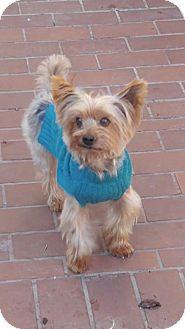 Dallas, TX - Yorkie, Yorkshire Terrier Mix. Meet Sammy a ...