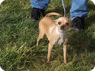 Chihuahua Mix Dog for adoption in Germantown, Maryland - Sissy