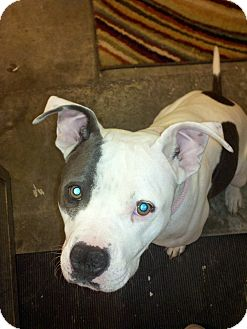 American Pit Bull Terrier Mix Dog for adoption in Las Vegas, Nevada - Maya